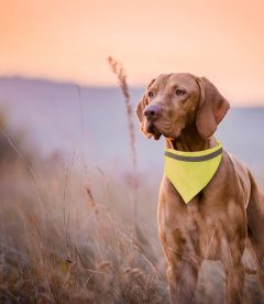 collare ad alta visibilità per cani